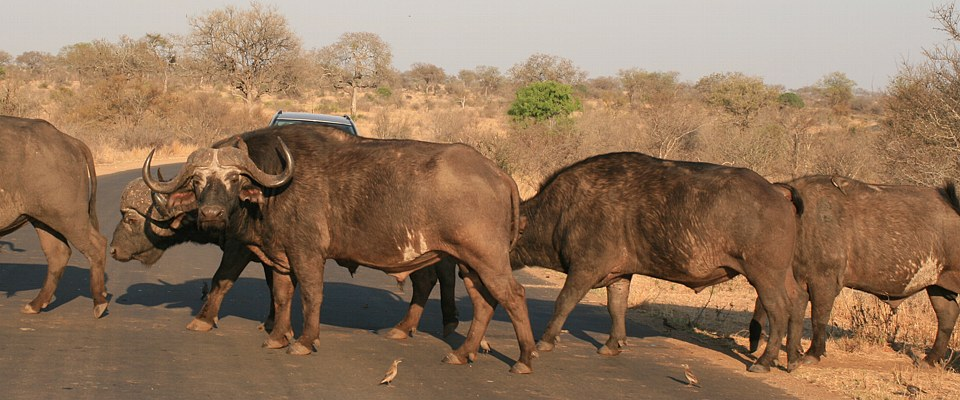 kruger-park-big-5-buffalos-africa-adventure.jpg