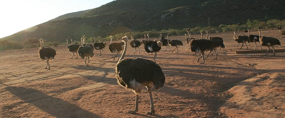 south-africa-ostriches-africa-adventure.jpg