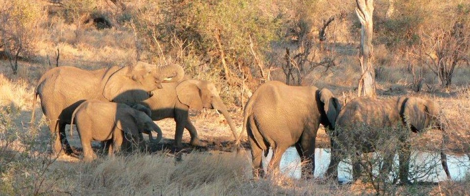 Elephants in a game reserve and national park in Zambia