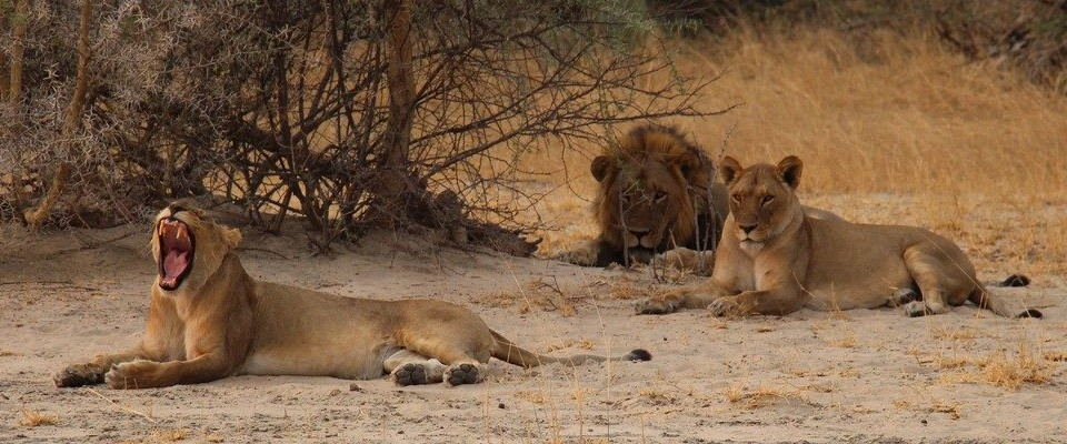 Lions on a game drive and safari in Zambia