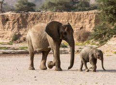 See desert elephants by self-driving with Acacia Namibia
