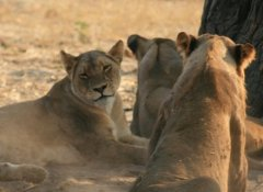 Africa Adventure Travel - Lions in Hwange National Park
