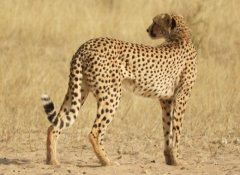 Africa Adventure Travel - Cheetah in Kgalagadi National Park