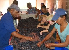 Grape sorting at Dunstone Country Estate and winery