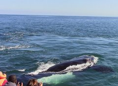 Hermanus Whale Cruises and whale watching in Hermanus