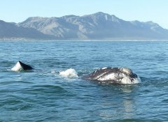 Boat-based whale watching with Hermanus Whale Cruises