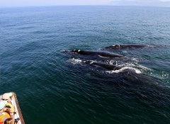 Southern Right Whales on Hermanus Whale Cruises