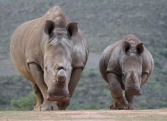 Rhinos at the malaria-free Indalu Game Reserve in Mossel Bay