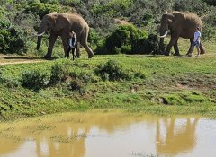 Guided elephant walk at Indalu Game Reserve in Mossel Bay