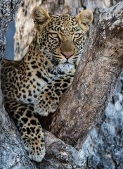 See the Big 5 with Indigo Safaris and tours in Botswana