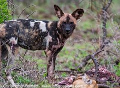 Indigo Safaris in Africa and guided tour with game drive