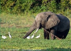 Indigo Safaris offer game watching and tours in Zambia