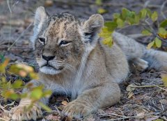 Indigo Safaris spot lions at Hwange National Park