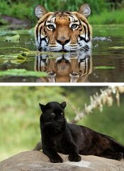 Big cats on the Garden Route at Jukani Wildlife Sanctuary