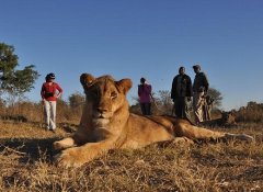 Lion Encounter, wildlife & nature in Victoria Falls