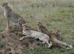 Spotting cheetahs with Memory Safaris in the Serengeti