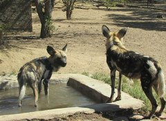 Wild dogs at Moholoholo Rehab Centre in the Lowveld