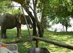 Elephant at Mvuu Lodge in Chiawa Game Reserve in Zambia