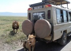 Lion encounter with Northland Tanzania Safaris Limited