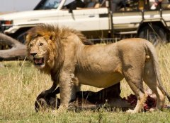 Lions at the Ngorongoro Crater with Nurtured Wildlife