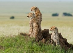 Cheetah on look out in the Serengeti National Park