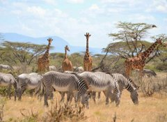 Zebra and Giraffe at Kilimanjaro National Park