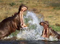 Hippos at Lake Victoria on Nurtured Wildlife Safaris