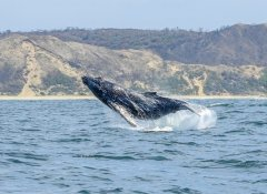 Watching a jumping whale with Ocean Odyssey in Knysna