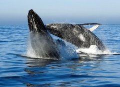 Whales performing acrobatics on Ocean Odyssey boat trip