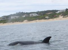 Offshore Adventures's whale watching on the Garden Route