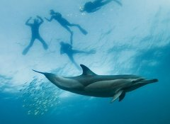 Dolphin & Sardine Run dive in Durban with Shark Bookings