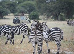 Game watching on Shizi Safaris in Tarangire National Park