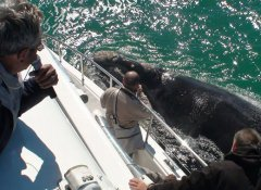 Southern Right Charters, Whale Watching in Hermanus