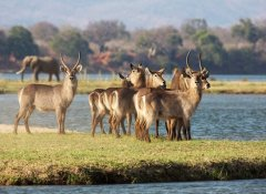 Waterbuck on Tsowa Safari Island